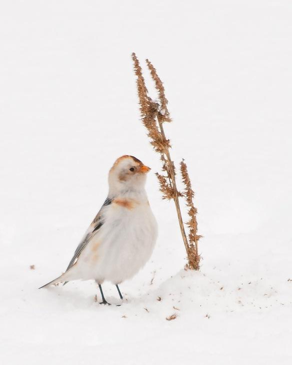 SnowBunting15Mar17#3382E2c8x10
