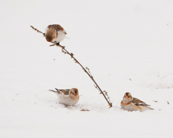 SnowBuntings15Mar17#3290E2c8x10