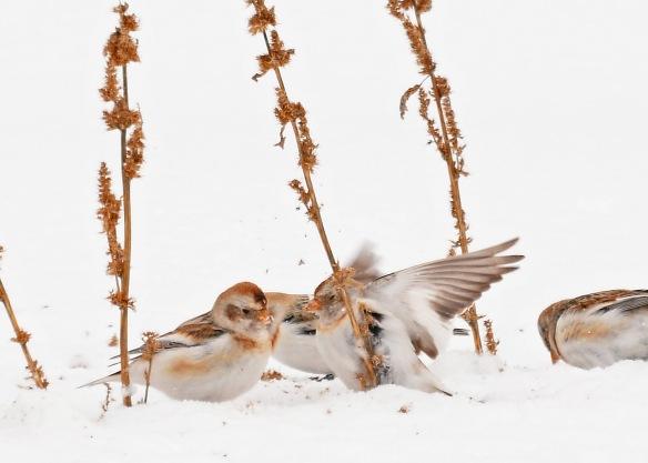 SnowBuntings15Mar17#3366E2c5x7