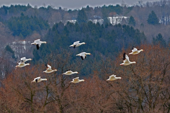 SnowGeese26Mar17#4573E9c4x6