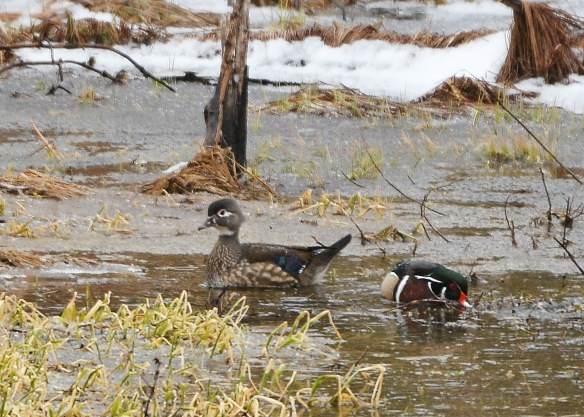 WoodDucks24Mar17#4304E2c5x7