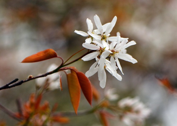 Amelanchier30Apr17#6676E2c5x7