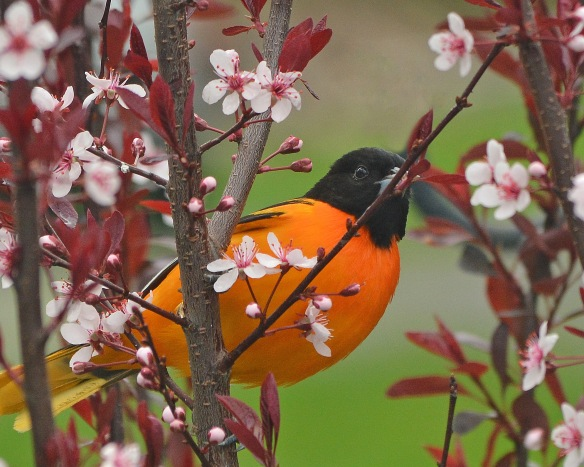 Oriole3May17#6928E7c8x10