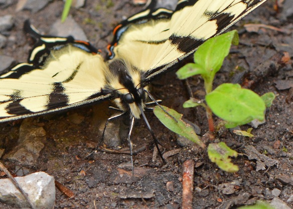 PuddlingSwallowtails2June17#8955E2c5x7