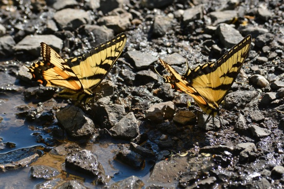 PuddlingSwallowtails2June17#9057E5c4x6