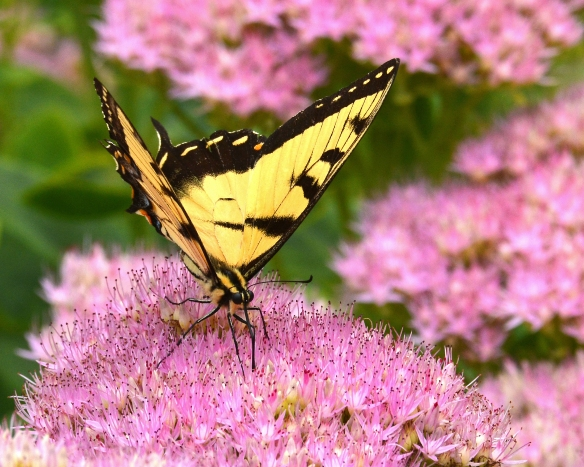 TigerSwallowtailSedum28Aug17#2543E2c8x10