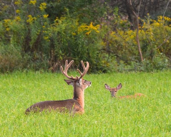 Deer4Sept17#3006E9c8x10