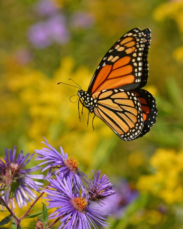 Monarch19Sept17#3758E5c8x10