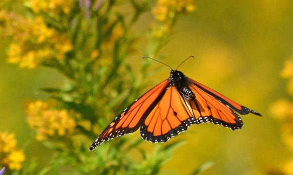 Monarch21Sept17#3991E7c3x5