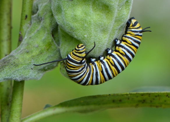 MonarchCaterpillar4Sept17#2924E2c5x7