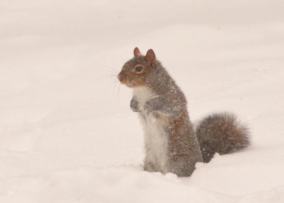 GraySquirrel25Dec17#6776E2c5x7
