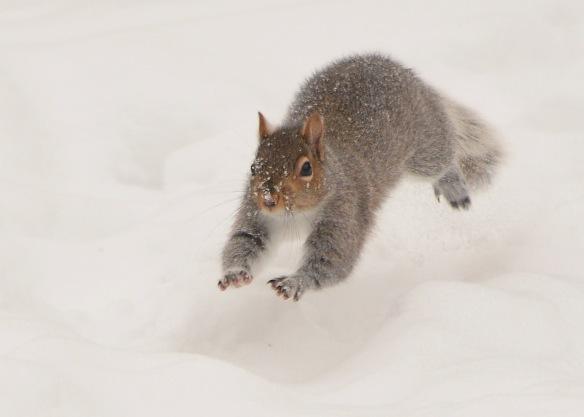GraySquirrel30Dec17#7230E2c5x7