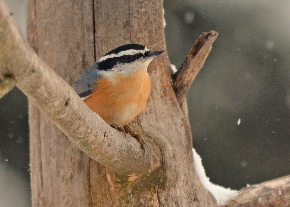 RBNuthatch13Dec17#6363E2c5x7