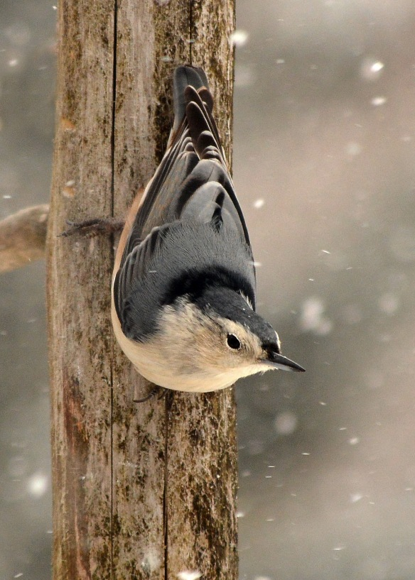 WBNuthatch16Dec17#6468E2c5x7