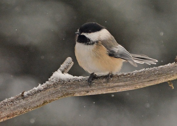 Chickadee24Jan18#8770E2c5x7