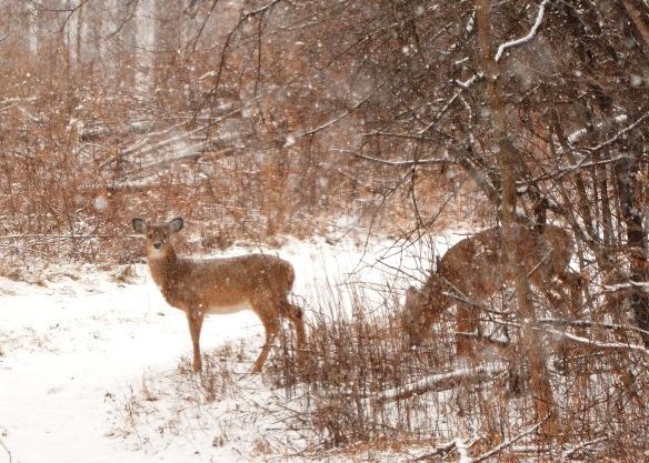 Deer30Jan18#8945E2c5x7