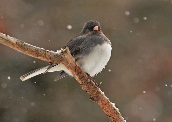 Junco24Jan18#8773E2c5x7