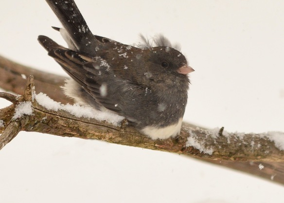 Junco4Feb18#9165E2c5x7