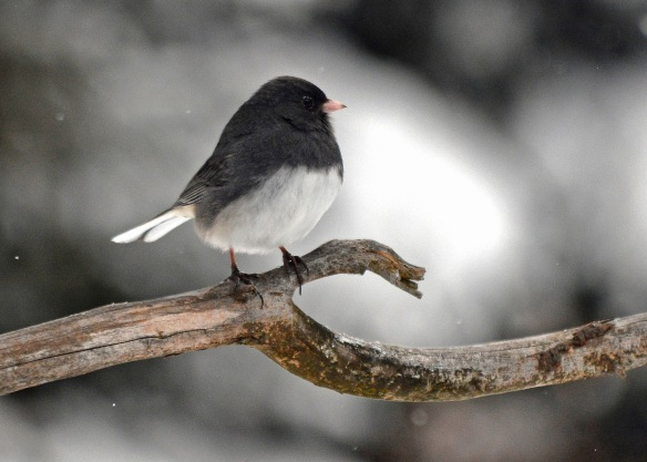 Junco8Feb18#9292E2c5x7