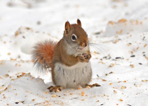 RedSquirrel13Feb18#9371E2c5x7