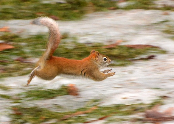 RedSquirrel22Feb18#9542E2c5x7