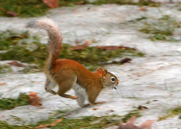 RedSquirrel22Feb18#9558E2c5x7