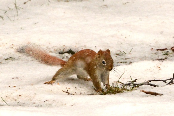RedSquirrel22Feb18#9635E2c4x6
