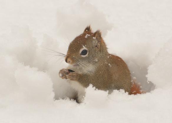 RedSquirrel22Feb18#9732E2c5x7