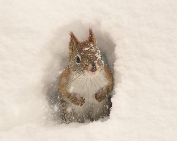 RedSquirrel7Feb18#9276E2c8x10