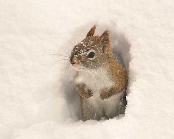RedSquirrel7Feb18#9278E2c8x10