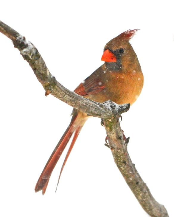 Cardinal2Mar18#9872E2c8x10