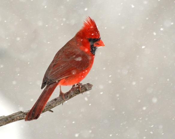 Cardinal2Mar18#9905E5c8x10