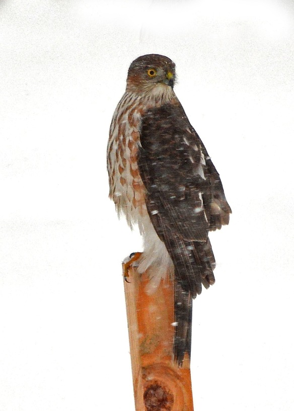 CoopersHawk2Mar18#9921E2c5x7