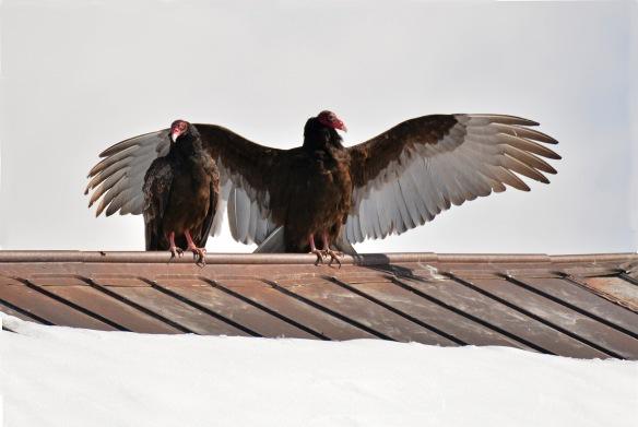 Vultures17Mar18#1000E7c4x6