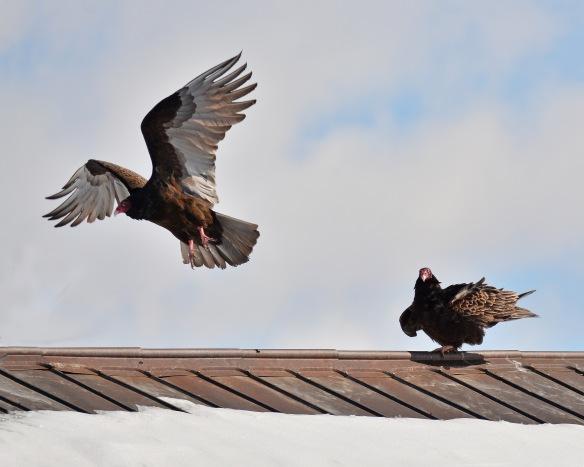 Vultures17Mar18#1025E3c8x10