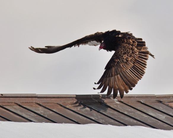 Vultures17Mar18#1034E3c8x10