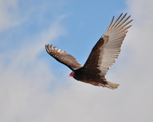 Vultures17Mar18#1043E2c8x10
