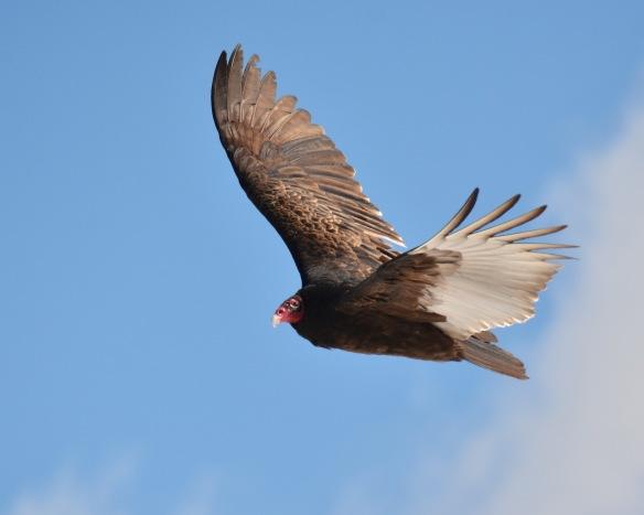 Vultures17Mar18#1045E2c8x10