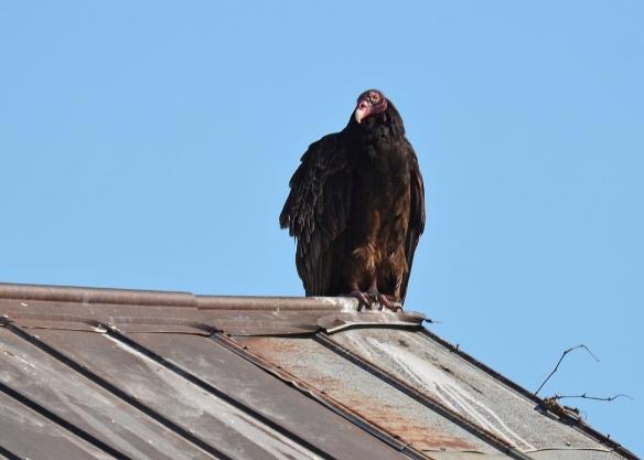 Vultures24Mar18#1342E2c5x7