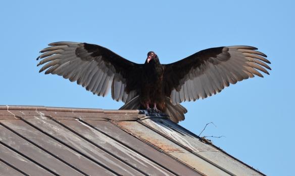 Vultures24Mar18#1359E2c3x5