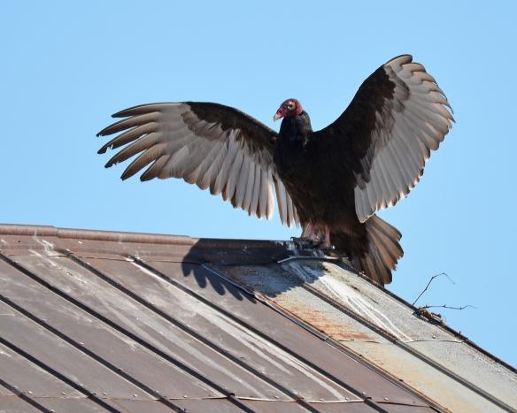 Vultures24Mar18#1375E2c8x10