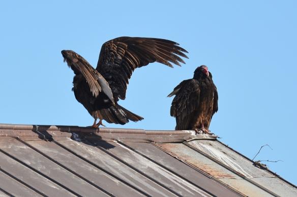 Vultures24Mar18#1388E2c4x6