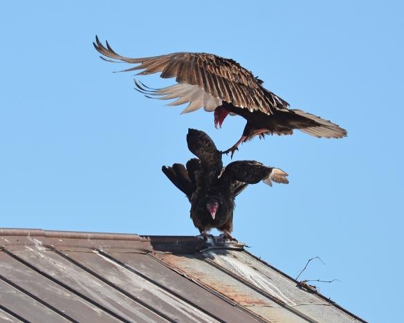 Vultures24Mar18#1396E2c8x10