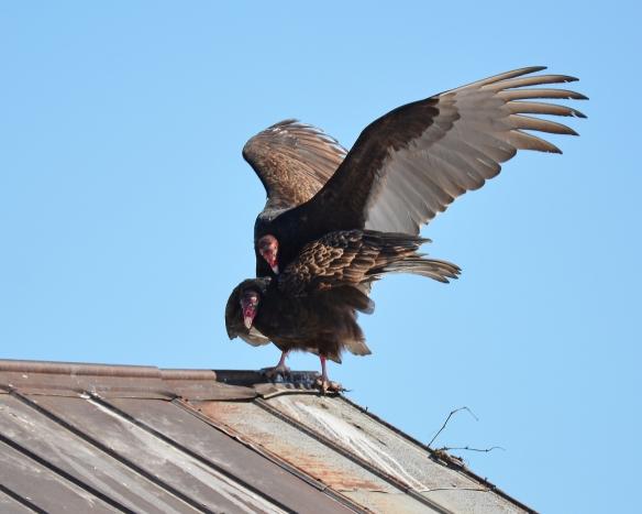 Vultures24Mar18#1436E2c8x10