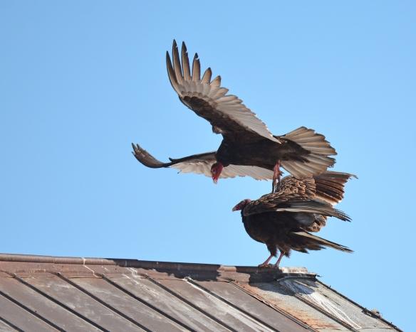 Vultures24Mar18#1440E2c8x10