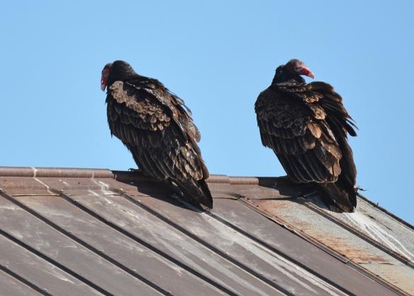 Vultures24Mar18#1444E2c5x7
