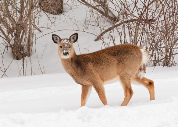 Deer11Mar18#0664E2c5x7