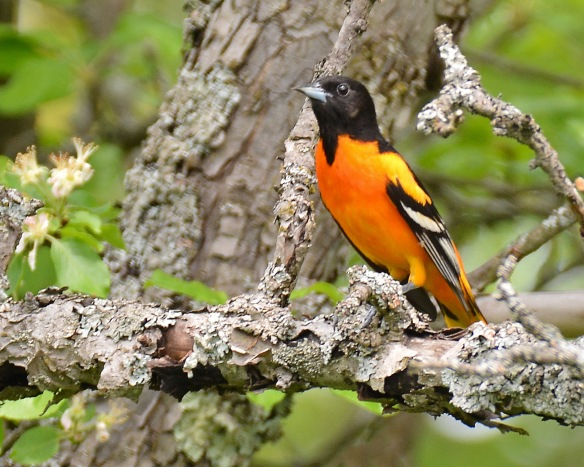 BaltimoreOriole26May18#4339E5c8x10