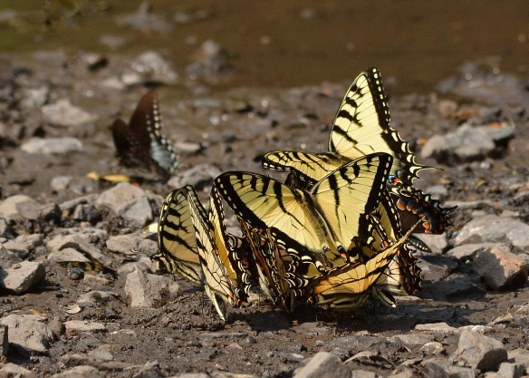 TigerSwallowtails2June18#4433E2c5x7