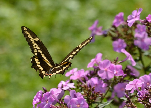 GiantSwallowtail23Aug18#8546E2c5x7